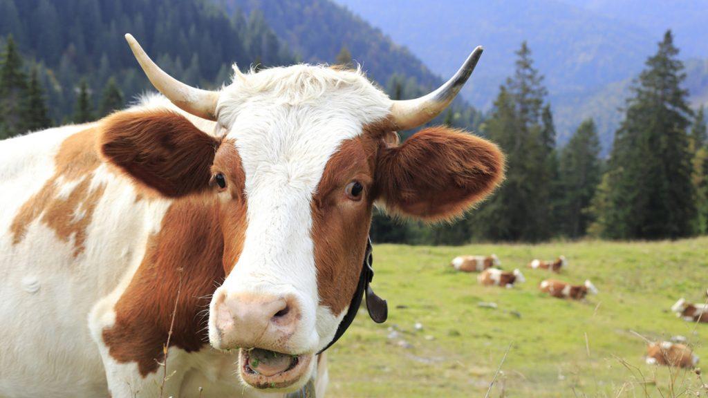 Alpha Lipid Colostrum Happy cow